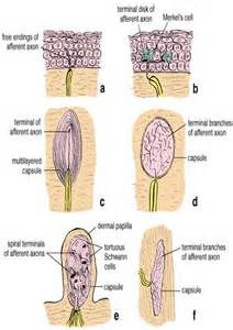 mechanoreceptors in skin picture 7