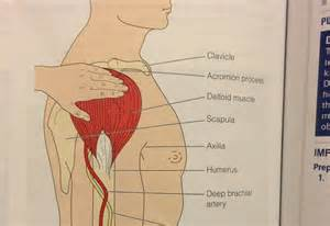 deltoid muscle injections picture 1