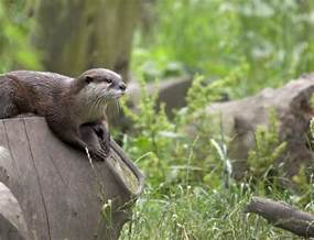 river otter diet picture 7