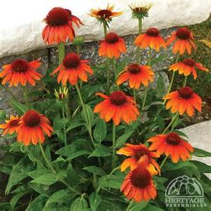 echinacea orange picture 6