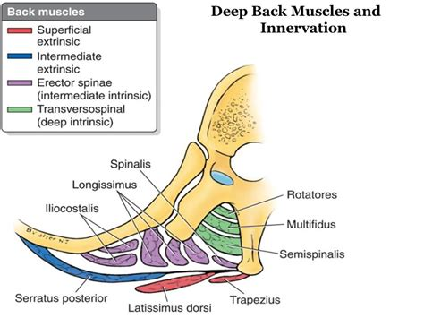 deep back muscle mustavius picture 10