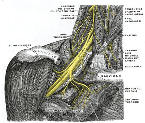 deltoid muscle paralysis picture 5