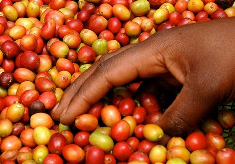 where to buy green coffe robust from uganda picture 3