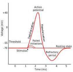 does ecg directly measure action potentials in muscle picture 7