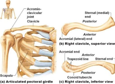 acromio-clavicular joint picture 3