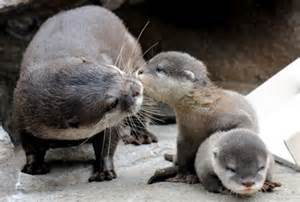 diet baby river otters picture 10