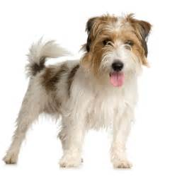 course hair in terrier picture 14