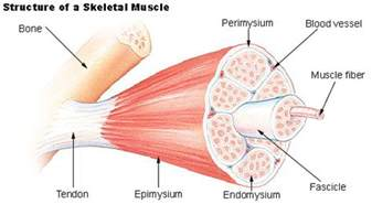 do plants have organized muscle fibers for movement picture 17