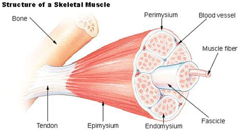 do plants have organized muscle fibers for movement picture 11