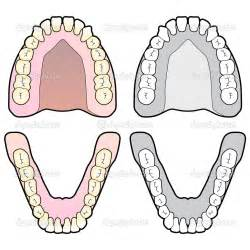 diagram of teeth picture 17