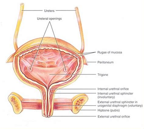 where is the bladder picture 14