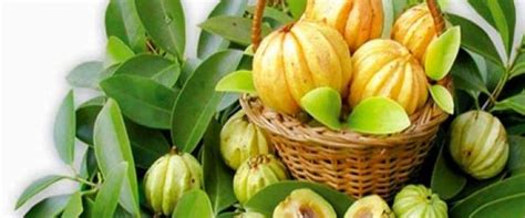can you take garcinia cambogia with black cohosh picture 4