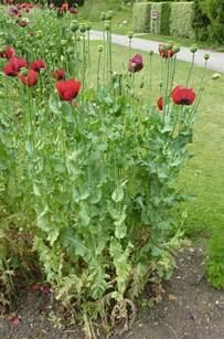 buy opium poppy herbal medicine picture 1