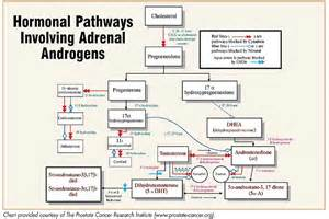 testosterone production in adrenal gland picture 6