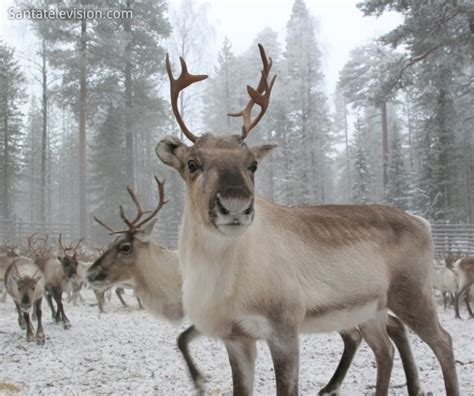 caribou skin picture 1