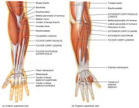 forearm muscle picture 3