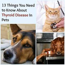 low thyroid in greyhounds picture 2