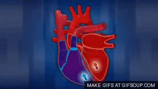 blood flow through reptilian heart animation picture 9
