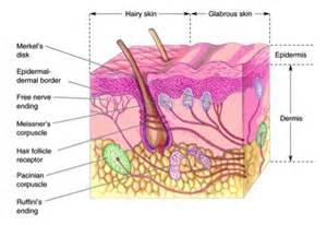 mechanoreceptors in skin picture 2