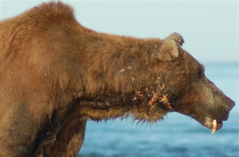 grizzly teeth picture 2