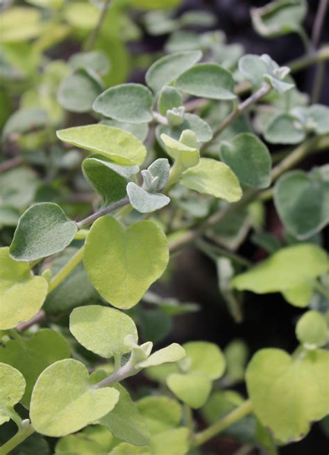 care for licorice plant picture 9