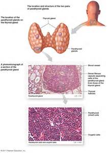 diagram of thyroid gland and parathyroids picture 2