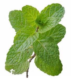 herbal medicine yerba buena picture 3