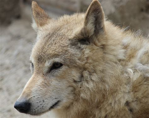 wolf teeth picture 1