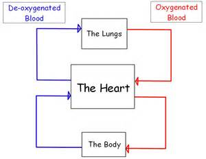 blood flow diagram of heart picture 1