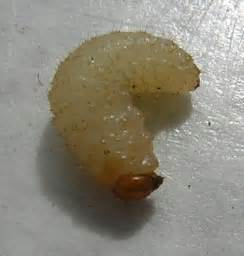 breast larvae removal picture 5