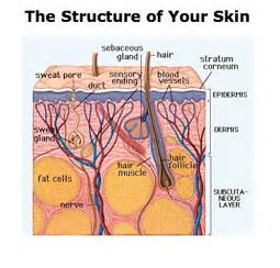 layers of the skin picture 7