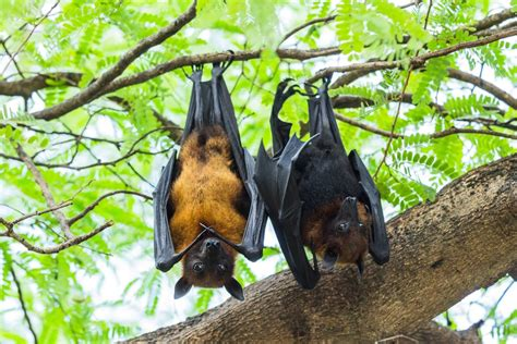 pictures of bats sleeping picture 14