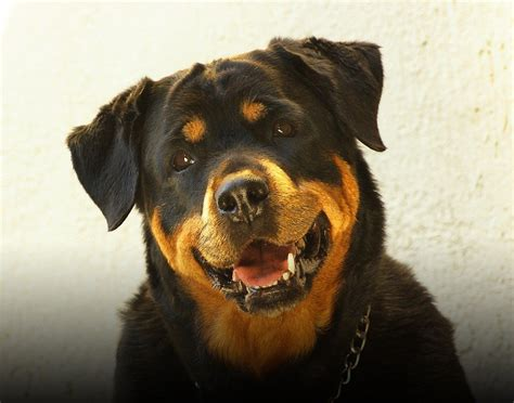 aging rotweiler picture 3