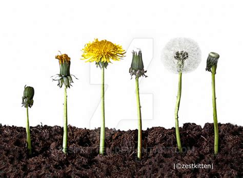 stages of growth of dandelions picture 1