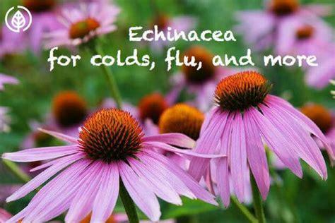 common + cold + echinacea picture 14