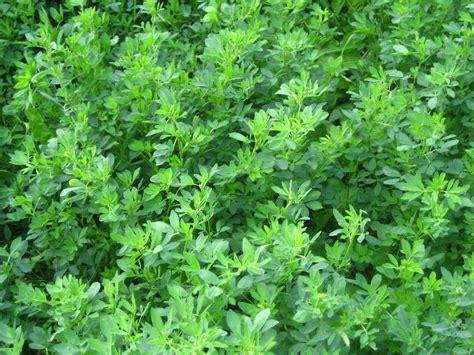 alfalfa picture 3