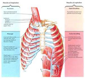 accessory muscle picture 5