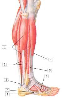 lateral lower leg muscle picture 1