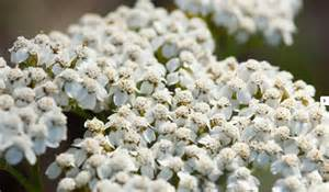 yarrow use picture 15