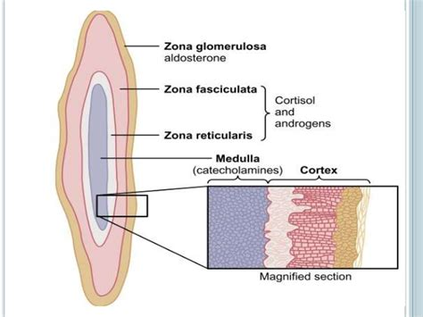 affects of aging on the adrenal cortex picture 8