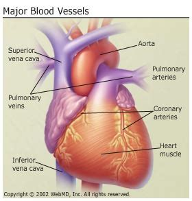 blood vessels and circulation picture 3