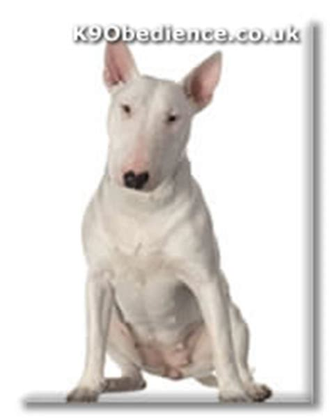 bull terrier acne picture 5