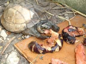 box turtles diet picture 18