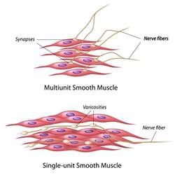 contraction in smooth muscle tissue picture 1