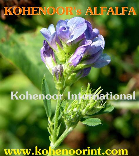 alfalfa seed for sale picture 21