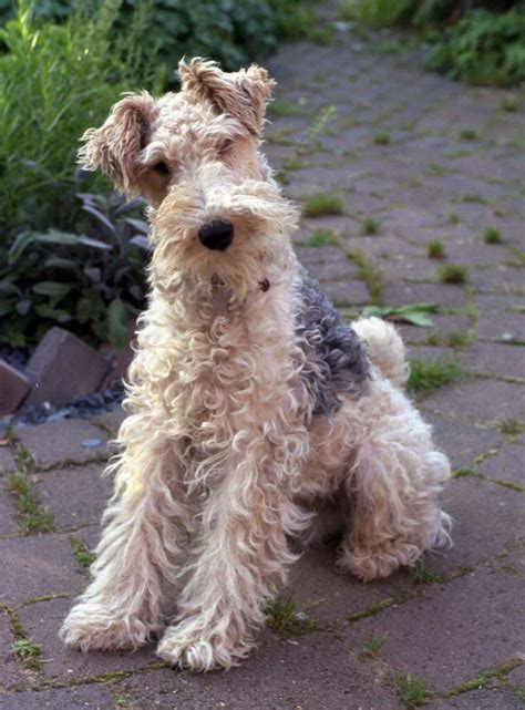 wire hair fox terriers picture 1