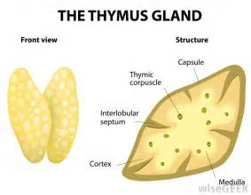 thymus gland picture 1