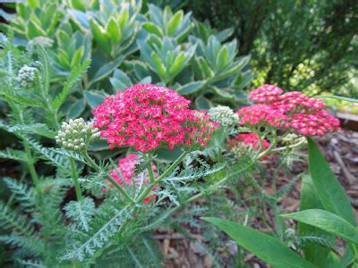 close ups of yarrow blooms picture 5