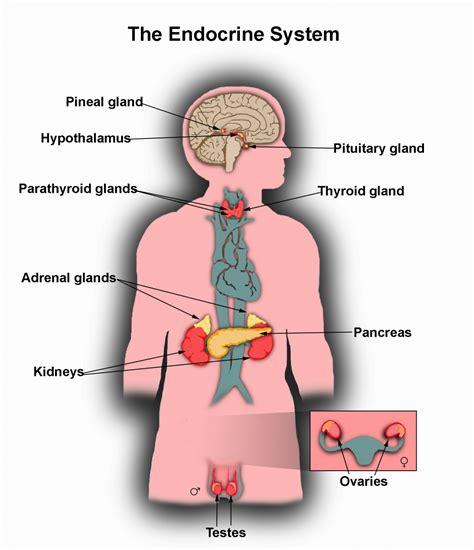 endocrine gland picture 2