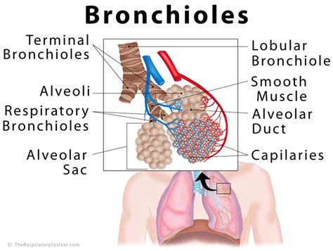 bronchial smooth muscle picture 2